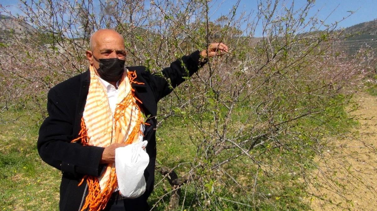 Hasadı bu yıl erken başlayan badem çağlasının kilosu 100 liradan satılıyor